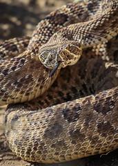 prairie rattlesnake (Brandon Downing) Tags: nature grass animals tongue closeup canon outdoors colorado reptile snake wildlife land herp prarie