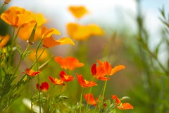 California Dreamin' II (paulapics2) Tags: flower blumen fleur flora floral orange garden hydehallgardens canon5d sigma105mm poppies californiapoppies bokeh