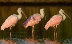 Three of a Kind (sarasonntag) Tags: pink sunset island evening three spring florida wildlife titusville merritt refuge spoonbill roseate 2016