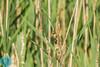 Eurasian Reed-Warbler (Acrocephalus scirpaceus)