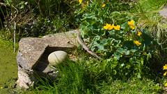 Marsh Marigods in the sun (annadg) Tags: flower floraandfauna otherkeywords