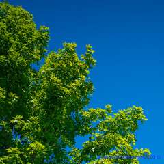 100 Days of Summer #29 - Green vs. Blue (elviskennedy) Tags: leica blue trees summer sky game tree green art colors up leaves wisconsin contrast landscape leaf maple fight rumble oak war colorful angle outdoor space branches sony air walnut elvis atmosphere battle piercing sugar oxygen summicron vs 29 elm contemplative 90 wi spruce kennedy stratosphere versus oconto kellylake a7r northernblueflag 100daysofsummer wwwelviskennedycom elviskennedy a7rii a7rm2
