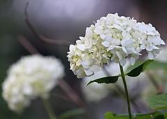 Pretty Dancer (Kooklamou - MA., USA) Tags: white bokeh background greatshot hydrangea