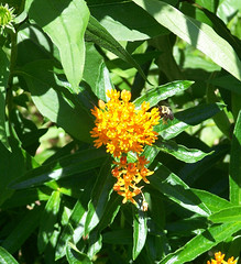 Lunch Time (Flowers Galore) Tags: flowers summer nature garden bee butterflyweed asclepiastuberosa butterflyattractant beeattractant orangebutterflyweed perennialbloomer