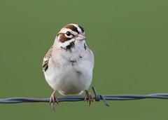 Lark Sparrow (rivadock4) Tags: colorado fort garland fortgarland sparrow lark larksparrow