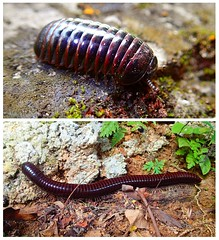 The Shortest & The Longest (GC G@n) Tags: millipede