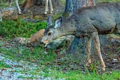 mule deer - banf NP, canada (AB) 3 (Russell Scott Images) Tags: canada mountains rocky ab canadian alberta banff banffnationalpark muledeerodocoileushemionus