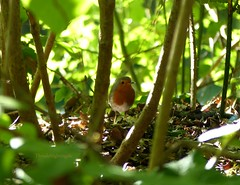 Hidden European Robin (Thrush-Nightingale) Tags: oiseau bird rougegorge familier rouge gorge rougegorgefamilier passereau robin robinredbreast european europeanrobin erithacusrubecula erithacus rubecula