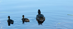ducking (lagerberg media) Tags: morning family bird nature birds animals fog swimming swim duck scenery sweden wildlife north ducks northern norrland