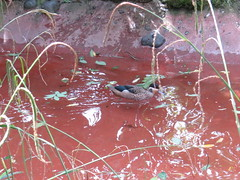 Woodland Park Zoo - Hottentot Teal (SpeedyJR) Tags: 2016janicerodriguez seattlewa woodlandparkzoo hottentotteal teals birds zoo seattlewashington washington speedyjr