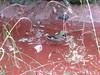 Woodland Park Zoo - Hottentot Teal (SpeedyJR) Tags: ©2016janicerodriguez seattlewa woodlandparkzoo hottentotteal teals birds zoo seattlewashington washington speedyjr