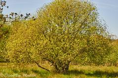 Mooie boom - Beautiful tree (desire van meulder) Tags: plants tree belgium boom antwerpen planten meerhout
