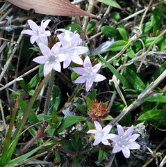 Sisyrinchium sp. 6500 (Tangled Bank) Tags: county flowers wild plant beach nature flora natural florida palm sp botany sisyrinchium 6500