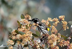 New-Holland Honeyeater (kennethblack2727) Tags: