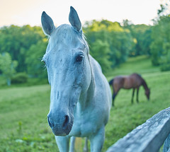White horse (The Fotogrphr) Tags: ranch light wild portrait horse white male nature beautiful beauty face sunshine animal speed mammal force power artistic farm gray fast run arab ear beast strong elegant runner powerful herd stallion thoroughbred equine mane gallop elegance hoofed pureblood