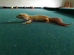 Spyro (Giant Tremper Albino Leopard Gecko) (Guyver 07) Tags: leopardgecko gianttremperalbino
