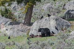 Soups on (ChicagoBob46) Tags: blackbear bear boar bisoncarcass carcass yellowstone yellowstonenationalpark nature wildlife