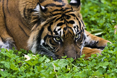 Sumatran Tiger 22 (cypher40k Photography) Tags: toronto color colour zoo nikon tiger bigcat sumatrantiger torontozoo