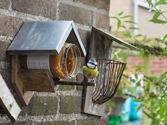 Day 267 (Wouter de Bruijn) Tags: autumn winter bird fall tit feeding fluffy feeder jar fujifilm 365 peanutbutter bluetit tinybird smallbird 267 xt1 fujinonxf35mmf14r