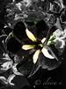 Petunie (elvira v.) Tags: flower blume petunie blackflower sonydsch9 schwarzeblume