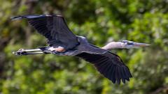 _C5A4039.jpg (Lake Worth) Tags: bird nature birds animal animals canon wings wildlife feathers sigma waterbird wetlands everglades waterbirds southflorida 2xextender