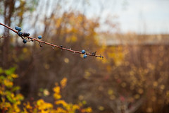 The Last Of Us (Rutger Blom) Tags: blue autumn fall nature branch berries 70mm canoneos5dmarkii ifttt ef2470mmf28liiusm