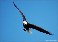 Bald Eagle, Birds of the Conowingo Dam (alan jackman) Tags: sky bird d50 wings nikon wildlife flight wing baldeagle maryland landing raptor nikkor birdinflight conowingodam 55300mm jackmanonjazz alanjackman