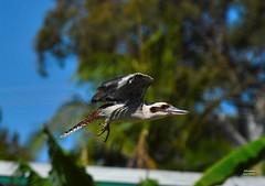 DSC_0004 (RUMTIME) Tags: bird nature birds fly flying flight feathers feather queensland kookaburra coochie coochiemudlo