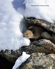 Getting a Frozen Drink (Photos of Southwest Montana) Tags: winter snow southwest rabbit bunny nature rock brad forest nikon montana hare photos wildlife national dillon tamron christensen pika beaverhead beaverheaddeerlodge