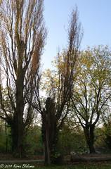 Truncated poplar (karenblakeman) Tags: uk trees october caversham poplars 2014 hillsmeadow