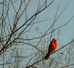 Male Cardinal ! (backup1940) Tags: cardinal sony backup1940 katyprairie