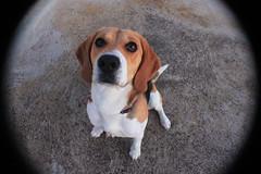 Kali (Judithdl23) Tags: dog chien cute beagle canon puppy eyes perro canoneos granangular objetivo mybeagle canon550d
