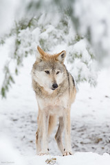 Winter Wolf (Mark Dumont) Tags: snow animals mammal zoo wolf mark cincinnati mexican dumont explored