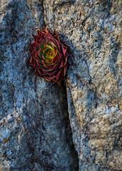 Joubarde_ (stram36) Tags: plante suisse pierre rocher frontire emosson joubarde