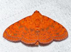 Noctuid Moth (Homodes crocea) (berniedup) Tags: moth sarawak malaysia borneo noctuidae kuching permai santubong homodescrocea taxonomy:binomial=homodescrocea