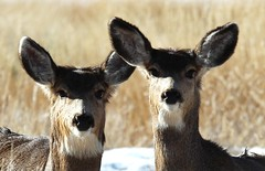 Mule Deer_02 (Circled Thrice) Tags: wild nature field canon mammal eos rebel colorado natural wildlife meadow sigma deer co muledeer t3i route105 rt105