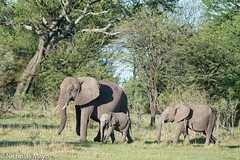 Two Young Elephants With Mother (Nick Mayo/RemoteAsiaPhoto) Tags: elephant tanzania serengeti lamaiwedge