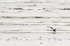 Exposing the New Year... (rosejones1uk) Tags: sea seagulls water seaside exposure westsussex groynes eastpreston