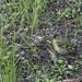 jilguero lúgano (carduelis spinus)