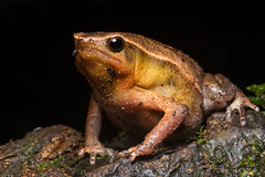 A Sticky One (antonsrkn) Tags: wild macro nature asia amphibian frog toad malaysia borneo sabah herp poring microhylidae kalophrynus microhylid stickyfrog kalophrynusheterochirus heterochirus variablestickyfrog