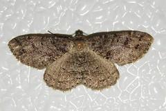 # 6620 – Melanolophia canadaria – Canadian Melanolophia Moth (Wildreturn) Tags: usa insect moth may insects 6620 mo lepidoptera missouri geometridae insecta franklincounty fieldguide mmfg geometridmoths melanolophiacanadaria melanolophia hodges6620 canadianmelanolophiamoth mothsofmissouri mothsofmissourifieldguide