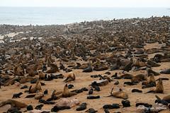 Cape Cross seal colony (Lucsaflex) Tags: cross seal smell cape namibia colony stank odour kolonie namibi pelsrobben