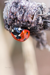 7 spot ladybird (leavesnbloom photography by Rosie Nixon) Tags: winter nature scotland perthshire january ladybird ladybug diapause 7spot leavesnbloom rosienixon