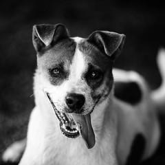 Viola24Apr1600068-Edit.jpg (fredstrobel) Tags: atlanta blackandwhite usa pets dogs animals ga places phototype pawsdogs pawsatanta