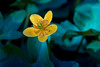 Caltha (matthiasstiefel) Tags: water boot spring marsh marigold frühling sumpfdotterblume kingcup nikon105mmf2