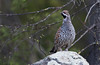 Pyy (mattisj) Tags: birds aves eläimet fåglar pyy linnut hazelgrouse bonasabonasia galliformes tetraonidae järpe kanalinnut metsäkanat