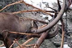 IMG_8461 (u.wittwer) Tags: park zoo schweiz switzerland tiere suisse tierpark heimat arth naturpark goldau widi