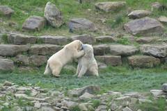 play fighting (Tony Shertila) Tags: bear england geotagged zoo europe unitedkingdom britain outdoor yorkshire polarbear enclosure paddock doncaster ursusmaritimus gbr oursblanc isbjrn cantley ywp nanuuk yorkshirewildlifepark geo:lat=5349597365 geo:lon=105032056 20160502121946