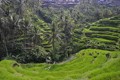 Rice Terrace Tegalalang (tian_allagans) Tags: bali landscape rice ubud sawah riceterrace tegalalang
