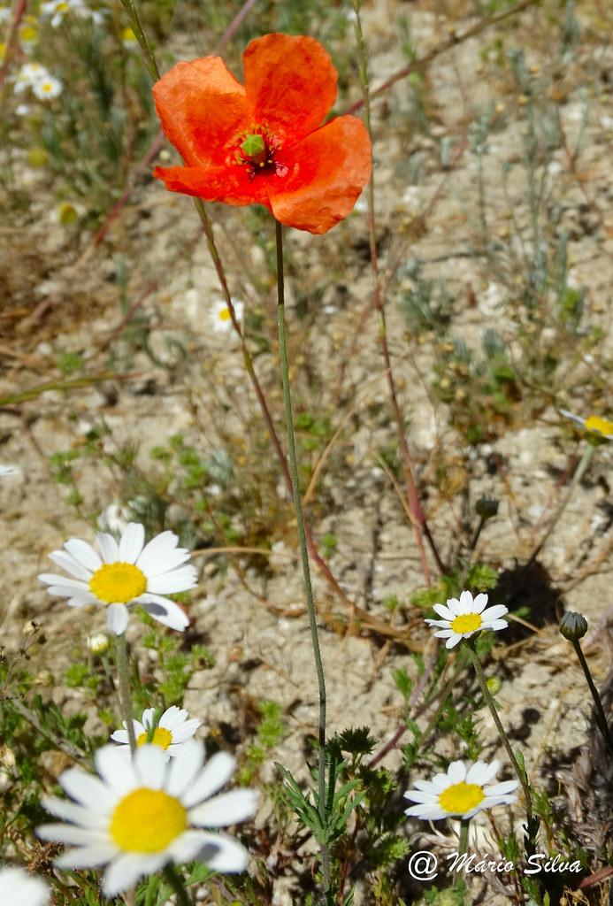 Águas Frias (Chaves) - ... flores campestres ...